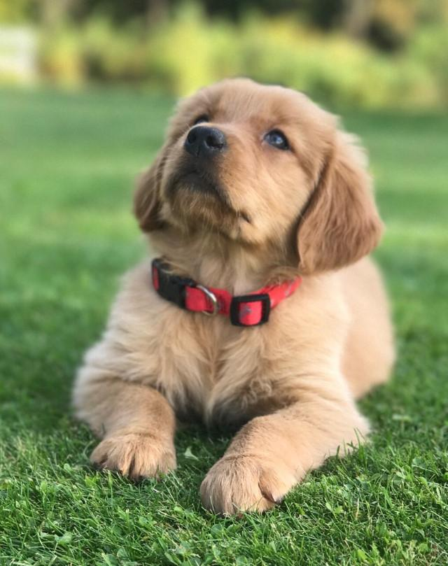 Goldens For You Rogers Mi 49779